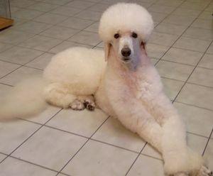 Szépülés a kutyakozmetikában